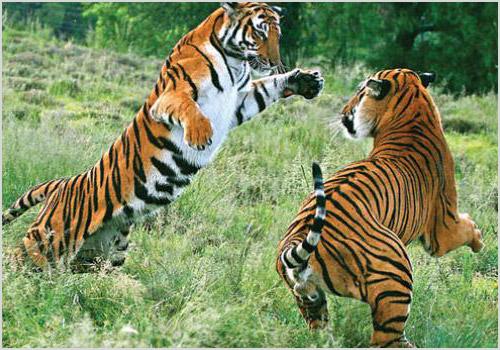 Китайский тигр - особенности жизни и популяция