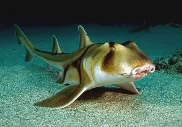 Рогатая акула: диковина из Австралии