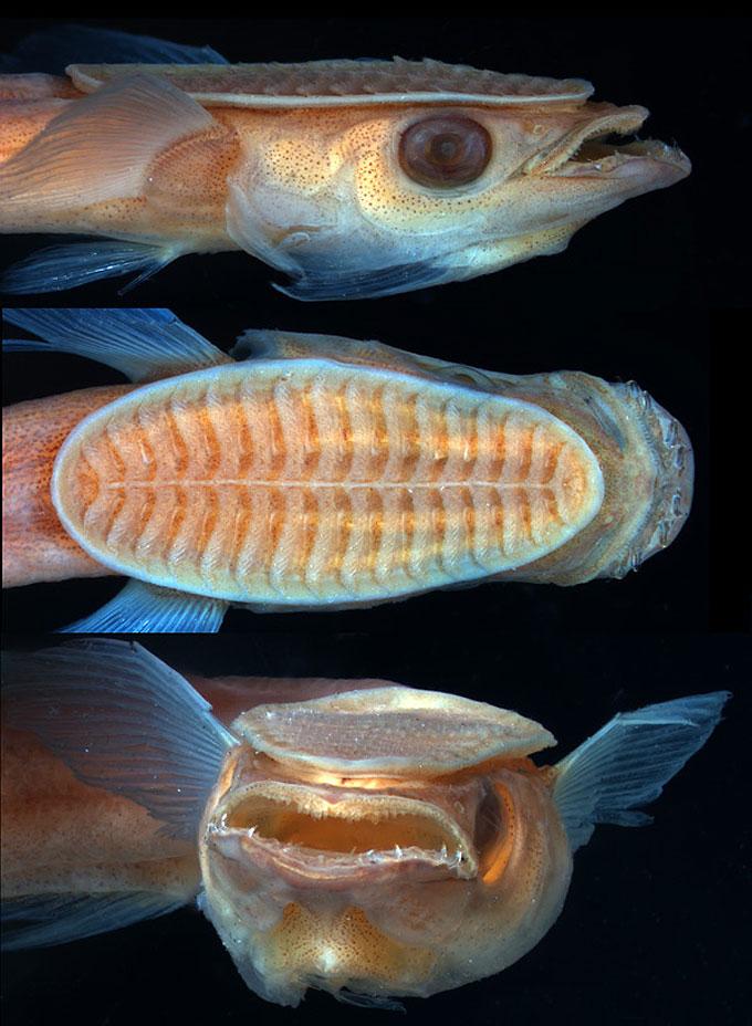 Прилипала: самая ленивая рыба в мире