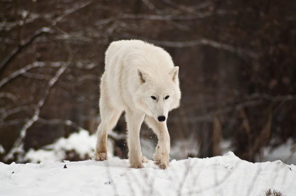 Полярный волк - живой прототип персонажей хардкор игр