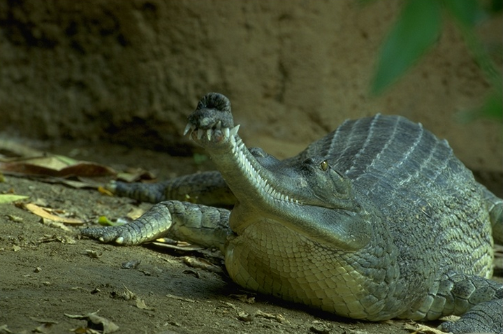 Гангский гавиал: крокодил, который не похож на остальных