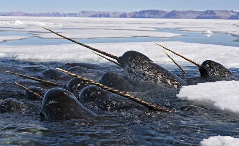 Нарвал - удивительный морской единорог