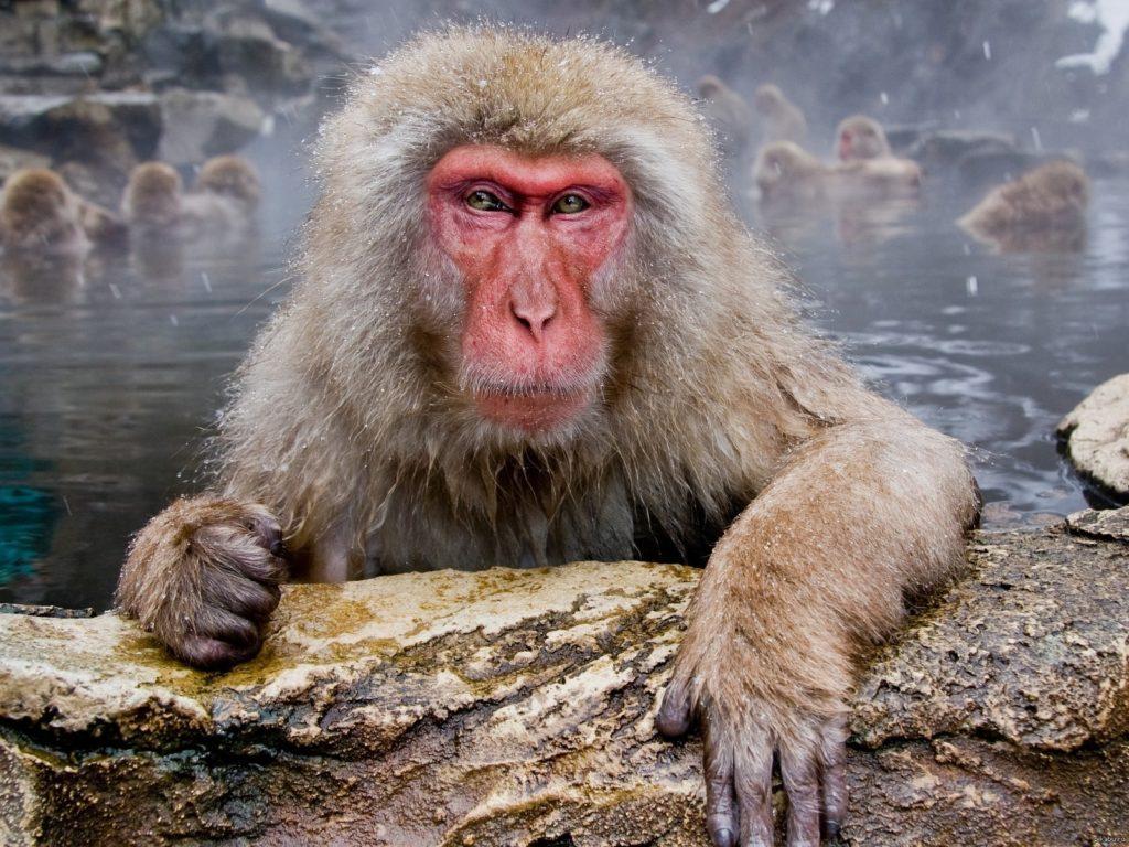 Японский макак: Банька-парилка, самочки и релакс