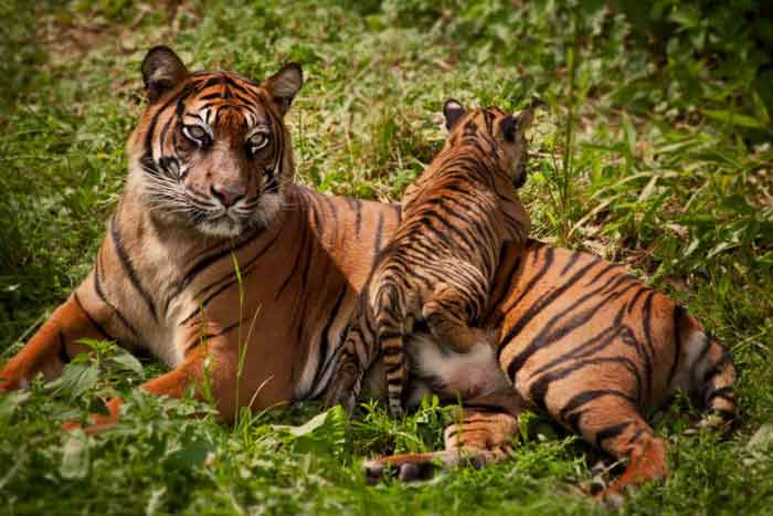 http://www.tepid.ru/animals-4/images/south-china-tiger-3.jpg