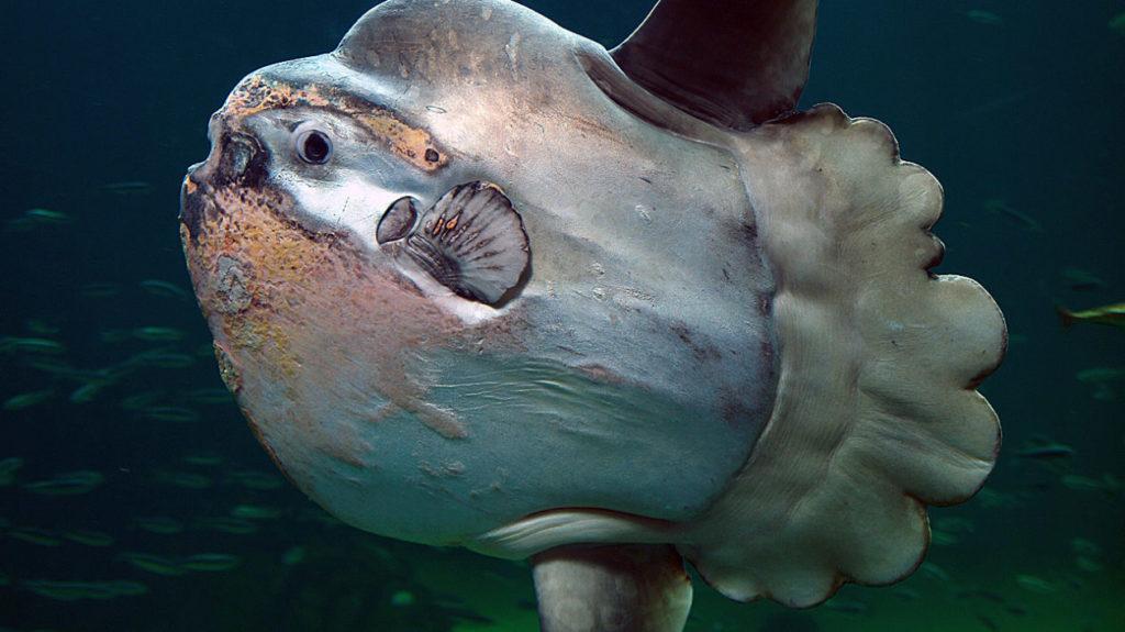 Мола-мола: добрая рыбка размером с носорога