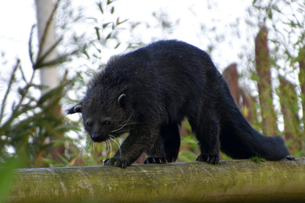 Бинтуронг: Как медведю удалось стать котом?