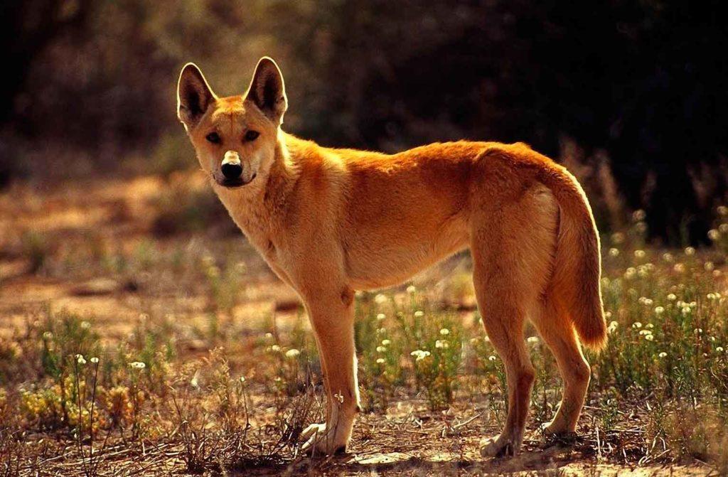 Динго: Унижение природы Австралии