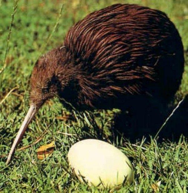 Птица Киви - удивительный эндемик