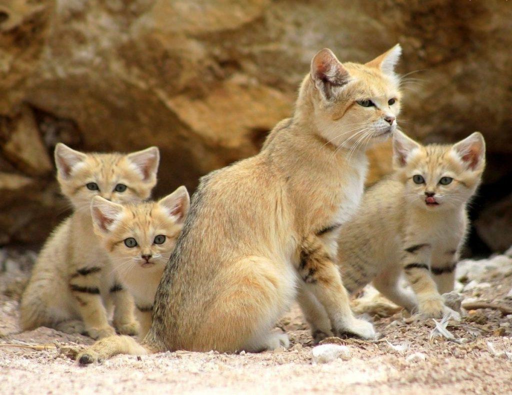 Самый мелкий вид кошек - Барханный кот