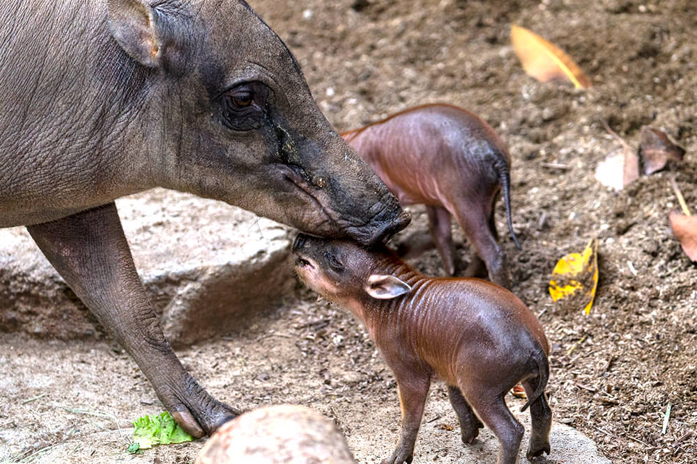 Экзотическая свинья Бабирусса