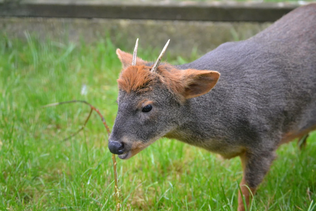 Олень размером с пуделя: пуду - удивительное животное тропических лесов Южной Америки