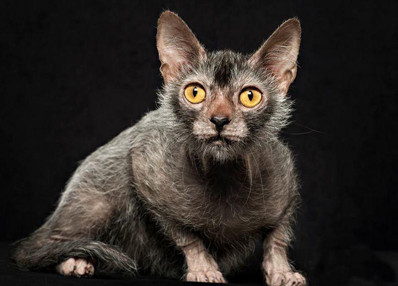 Драная кошка Ликой: безумие или новая мода?