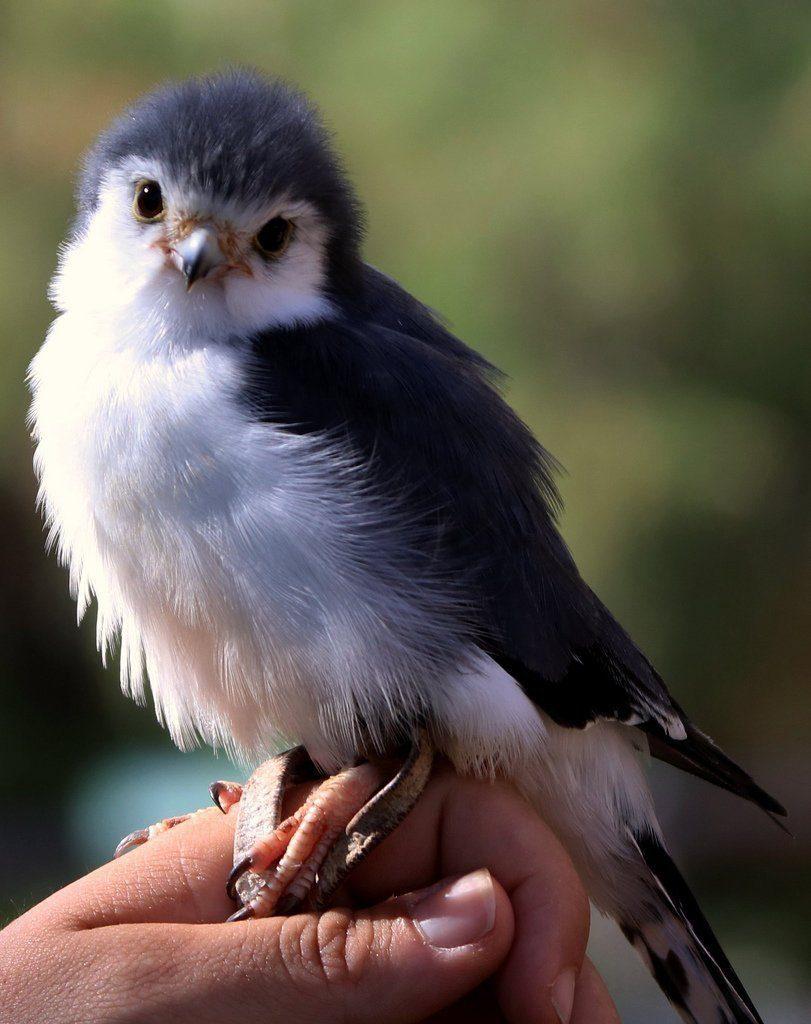 Карликовый сокол: что это за птичка и где она живет?