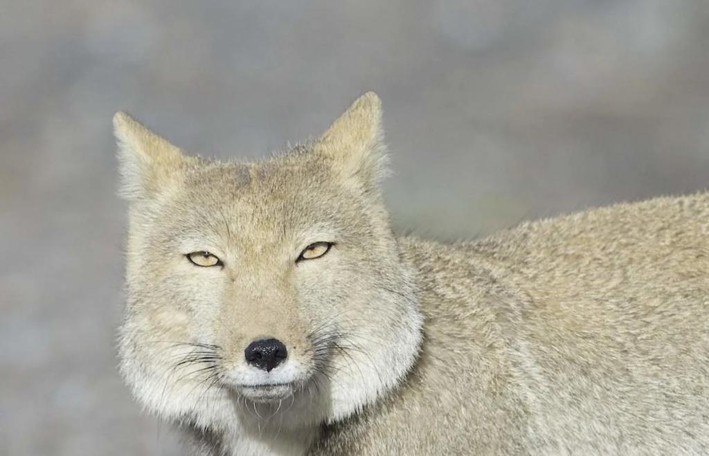 Тибетская лиса - внешнее спокойствие и внутренняя сила
