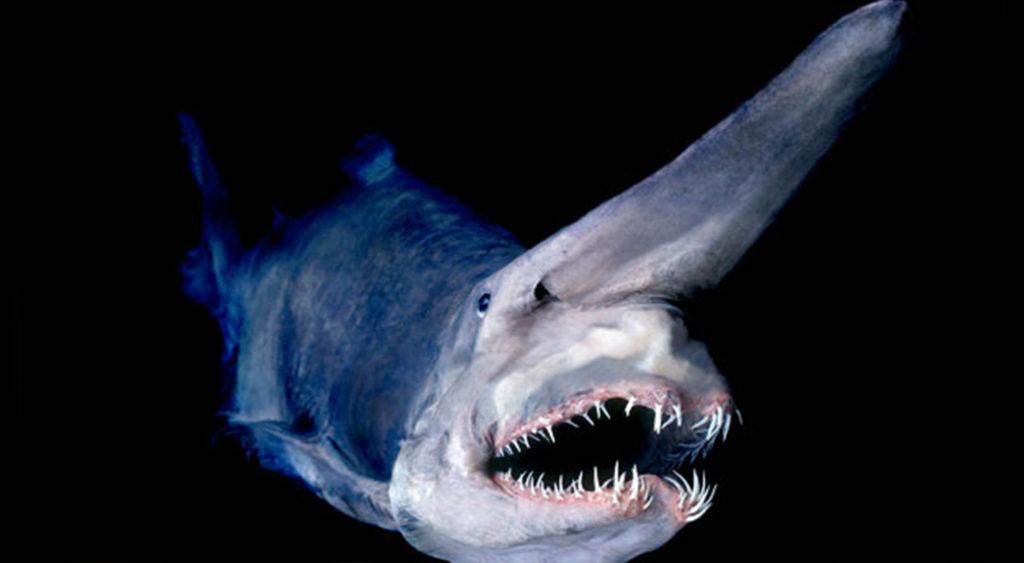Акула-гоблин - древний глубоководный монстр