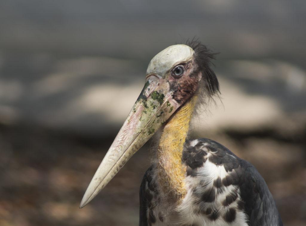 Марабу: необычная птица-падальщик