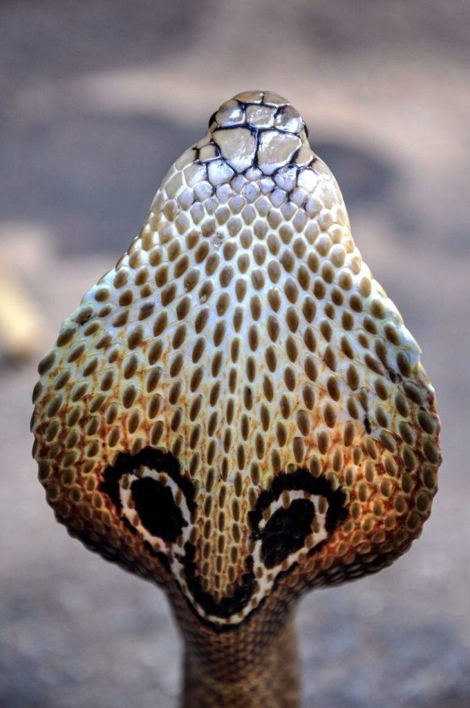 Капюшон кобры картинка