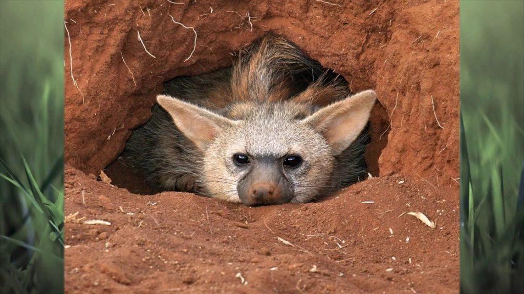 Земляной волк: Самый мелкий вид гиен и их странности