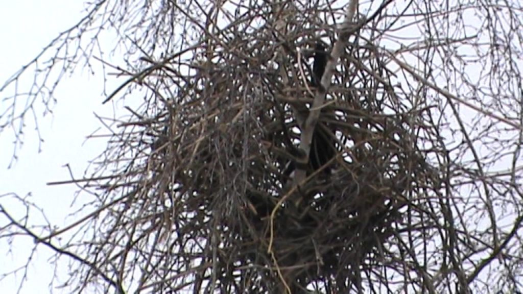 Сорока: Птица, которая живет по понятиям