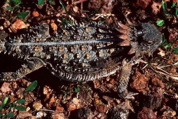 Кровь из глаз как средство самозащиты: жабовидная ящерица