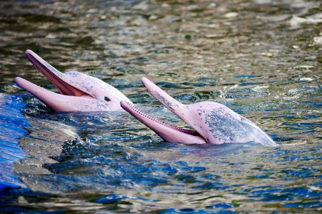Боуто - настоящая легенда амазонских вод