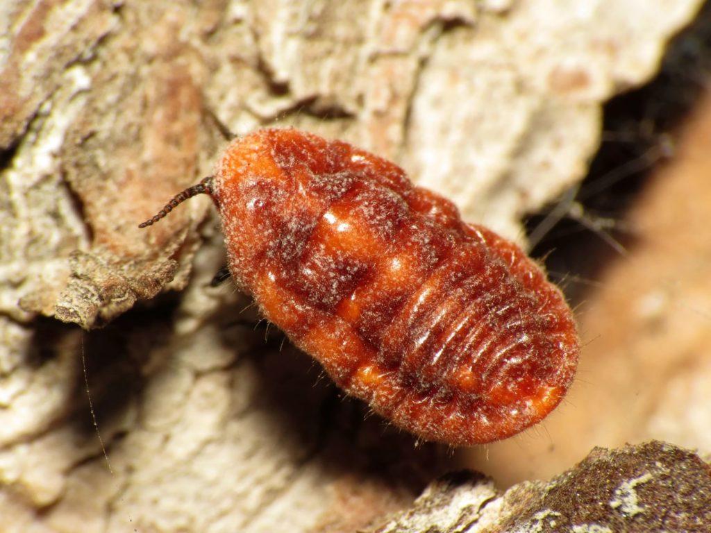 Мы едим жуков: Вся правда про краситель кармин [производство, способы применения, вред]