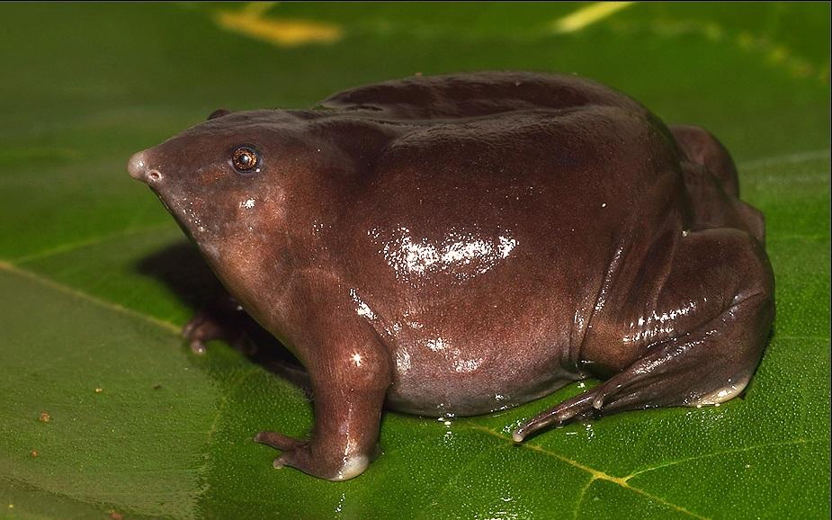 Лягушачьи прятки: почему ученые долго не знали о существовании Пурпурной лягушки?