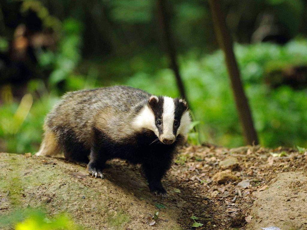 О жизни барсуков в дикой природе