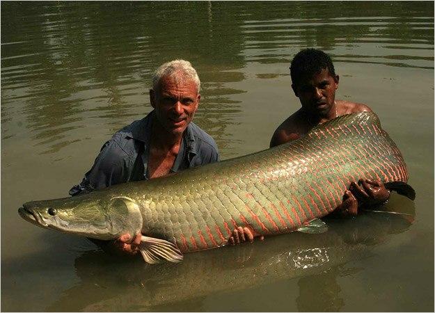 Гигантская Арапайма - Крупнейшая пресноводная рыба