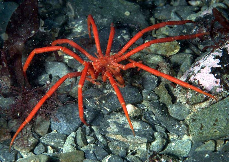 Пантоподы: настоящие монстры из морских глубин