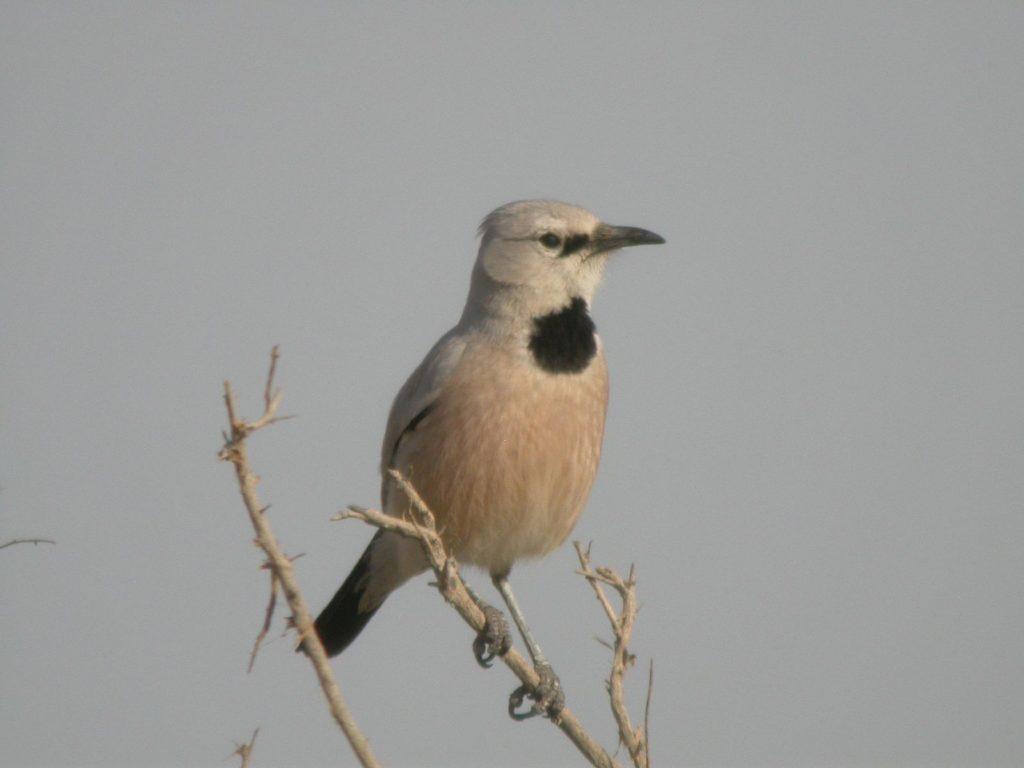 Культурная птица - Сойка саксаульная