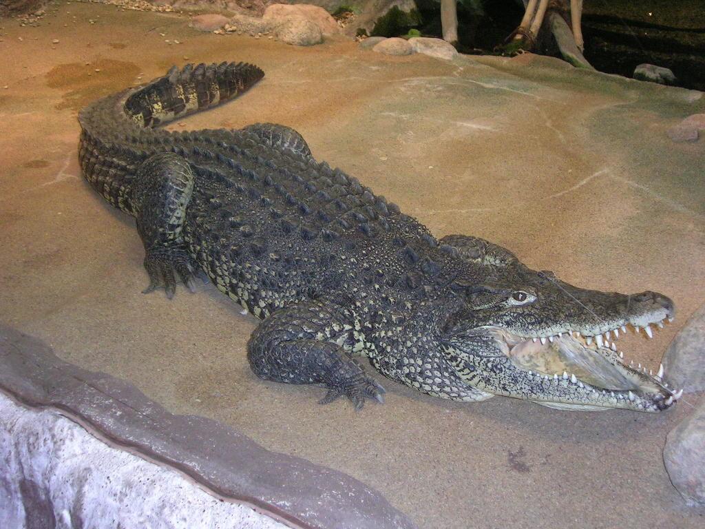 Кубинский крокодил - жемчужный убийца