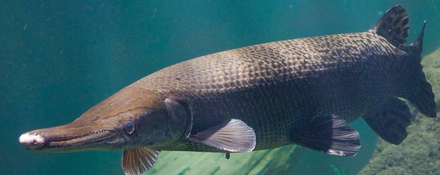Пресноводный ужас и мечта рыбака - Щука-аллигатор