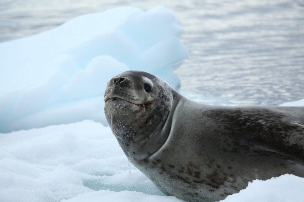 Антарктический убийца: интересные факты о морском леопарде