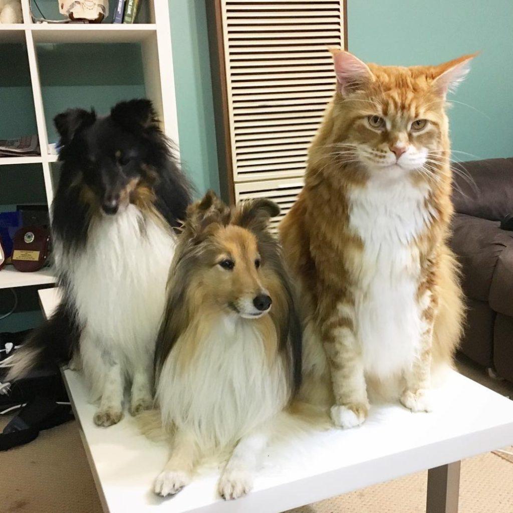 Мейн-кун Омар - самый длинный кот в мире