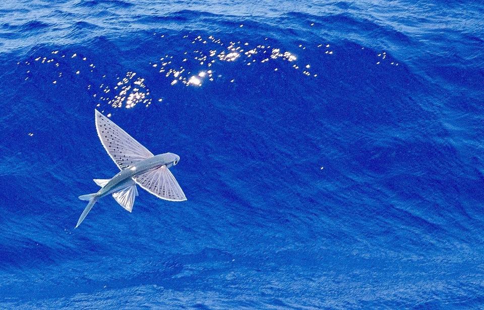 Летучие рыбы: от божества до деликатеса