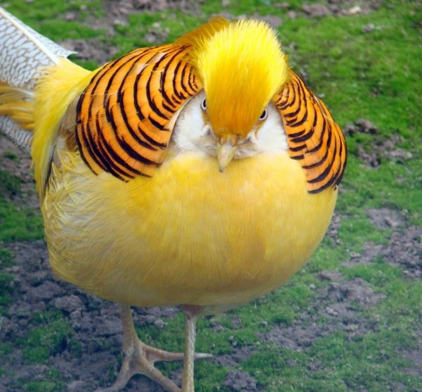 Удивительная птица - Золотой фазан