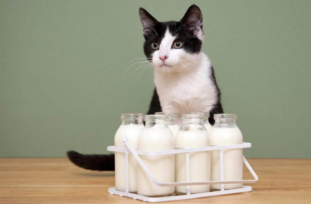 Котам нельзя молоко? [правда или миф]