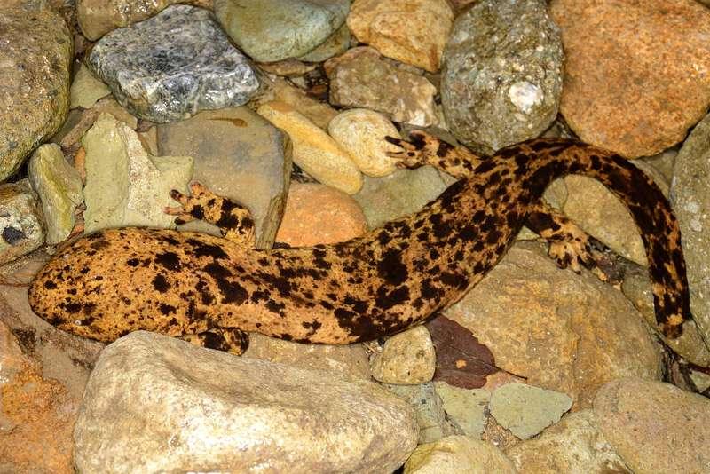 Исполинская саламандра: самое крупное земноводное в мире