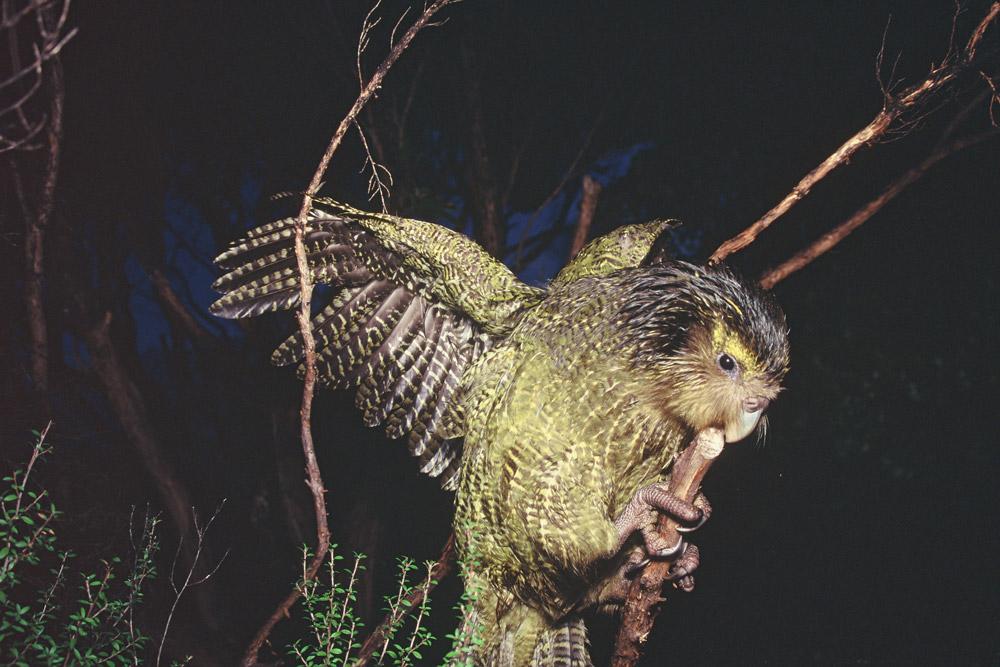 Какапо - единственный ночной попугай
