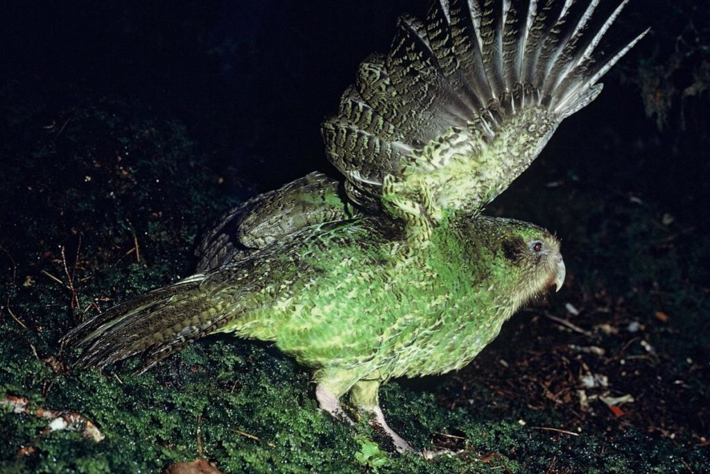 Какапо - нелетающий попугай.