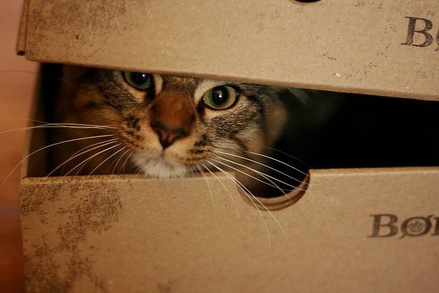 Кот забрался в коробку из-под обуви