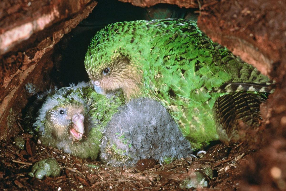 Самка Какапо сама воспитывает птенцов