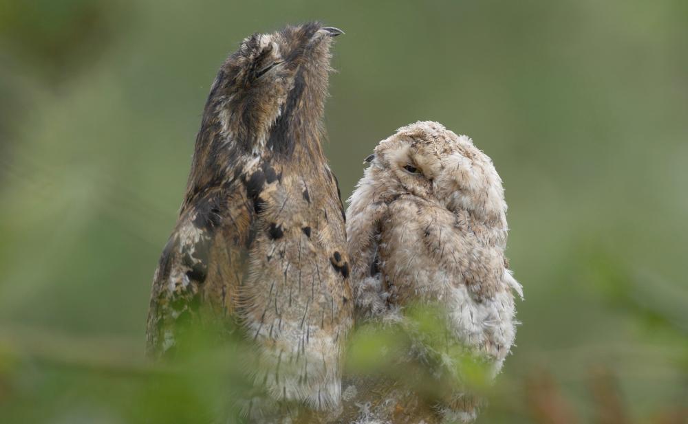 Козодой - самая упоротая птица в мире
