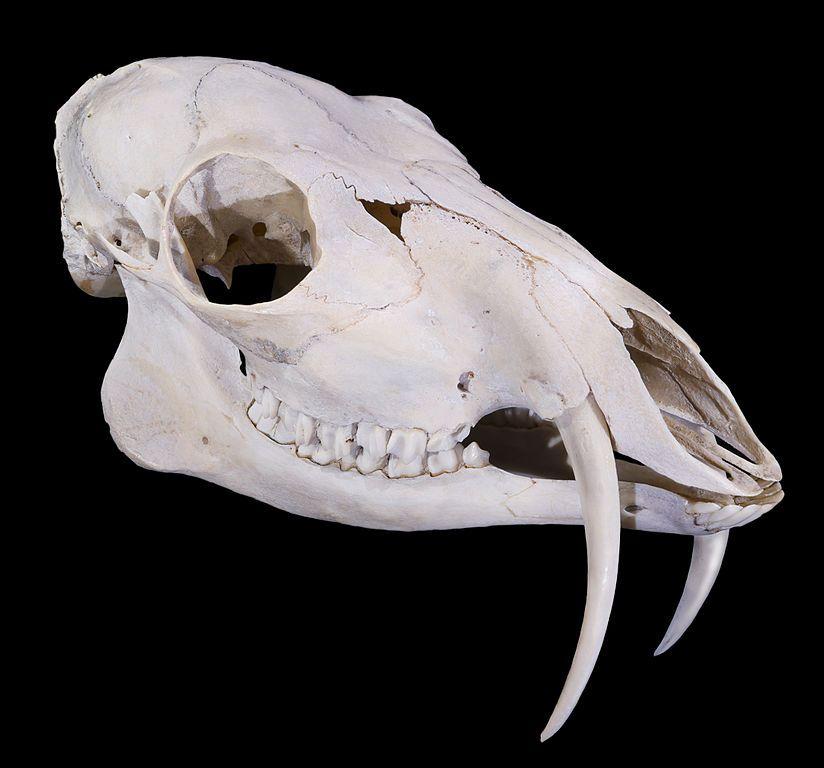 Кабарга или славный «олень-вампир»