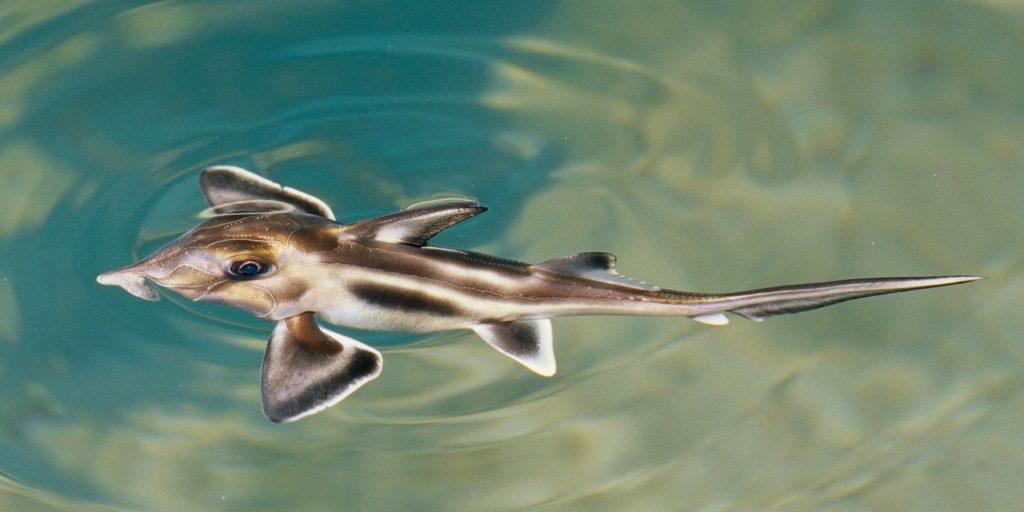 Слоновая акула-призрак: рыба, которая притворяется хищником