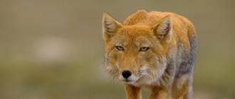 Тибетская лиса: фото, внешний вид, описание, особенности