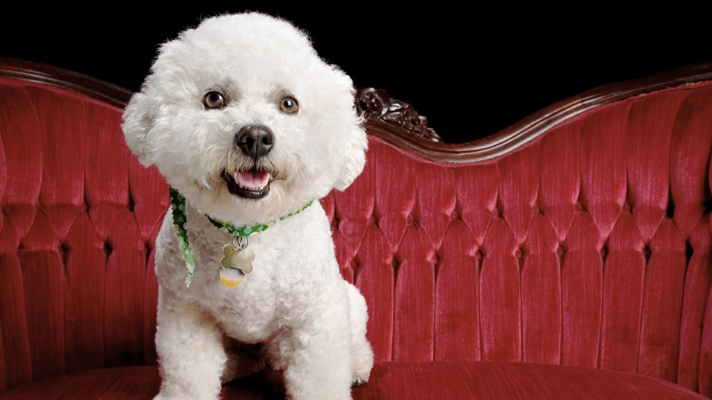 Бишон фризе - игрушечная собака нарцисс