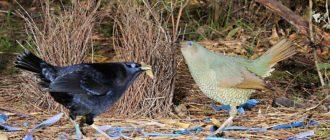 Шалашник: фото птицы, внешний вид, гнездо, описание, образ жизни