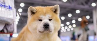 Акита ину: фото собаки, видео, история породы, характер